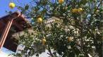 garden_lemon_tree_cb.jpg